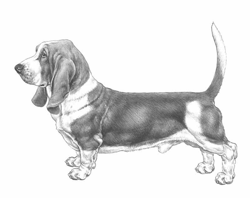 razza Bassethound
