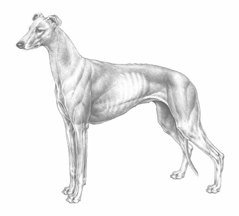 razza Levriero greyhound