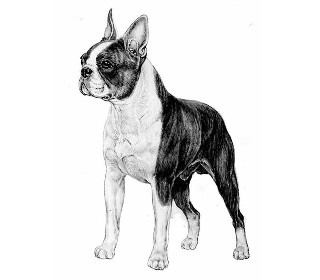 razza Boston Terrier