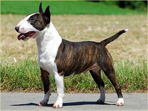 razza Bull Terrier