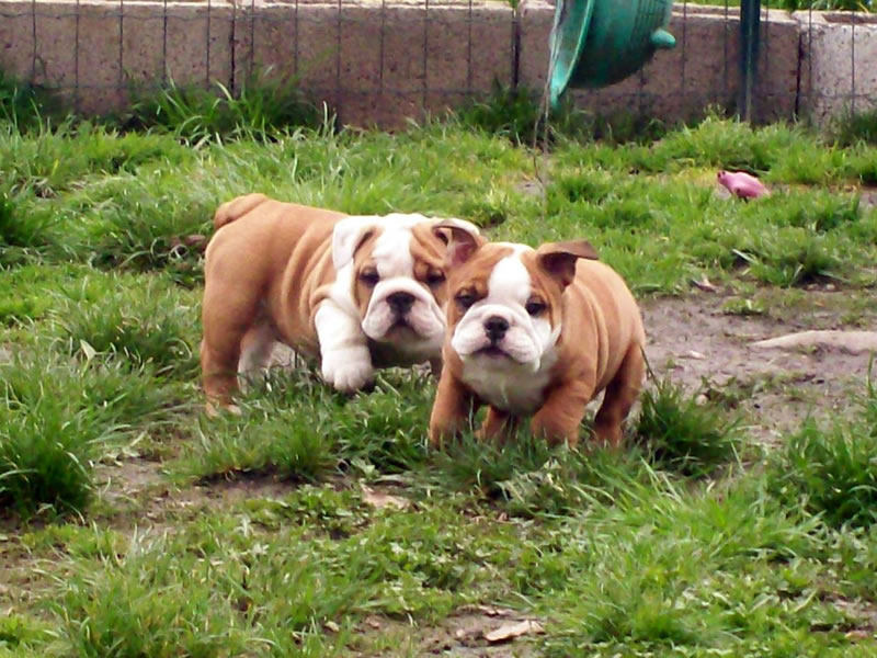 razza Bulldog