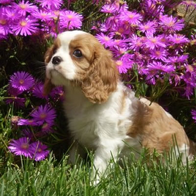 razza Cavalier King