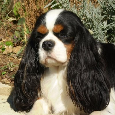 razza Cavalier King tricolor