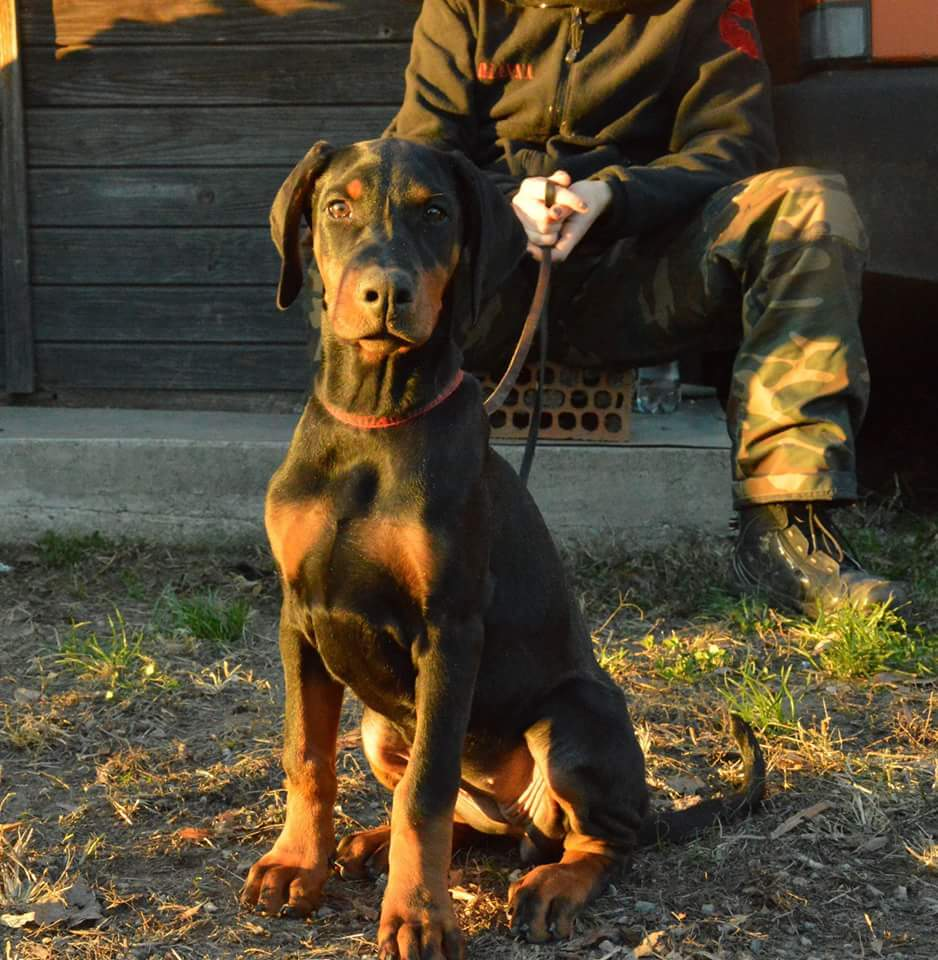 razza Dobermann