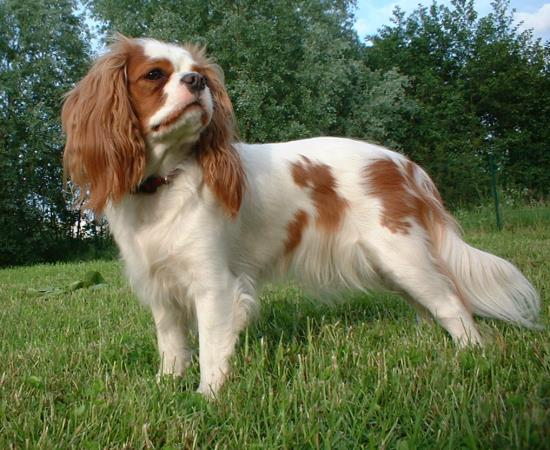 razza Cavalier King blenheim
