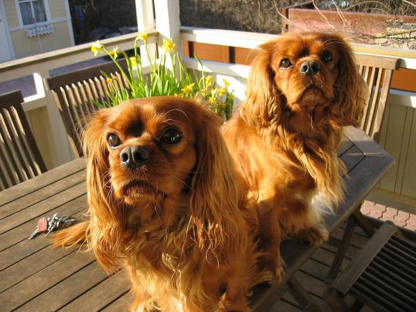 razza Cavalier King ruby