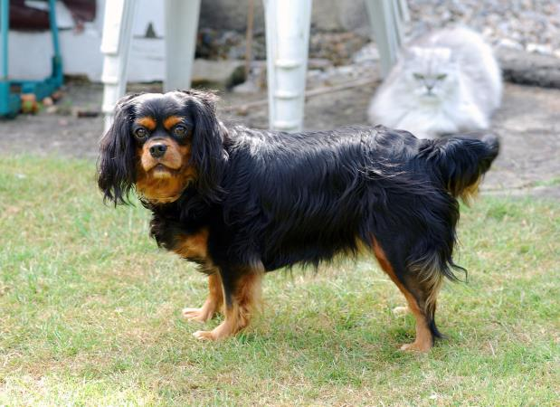 razza Cavalier King black and tan