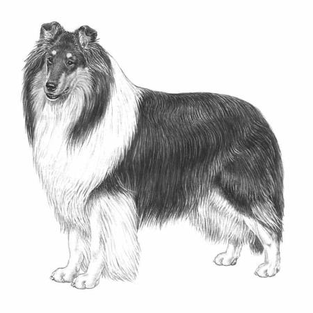 razza Collie