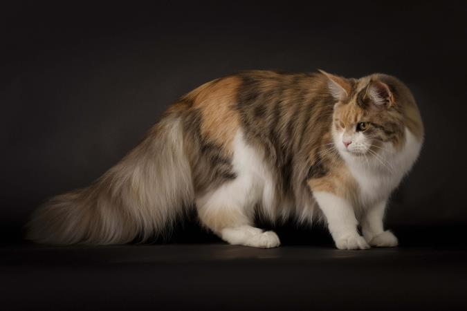 razza Maine Coon