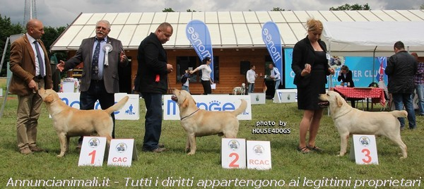 Accoppiamento Cani Taglia Media: Labrador Retriever disponibile per Accoppiamento