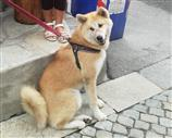 Accoppiamento Akita Inu pelo corto. Contatta subito.