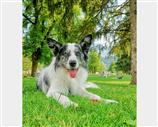 Border Collie a Vicenza