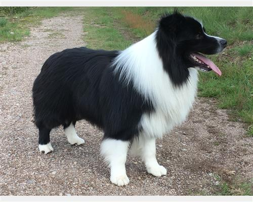 Border Collie  maschio , mantello  bicolore (double color)