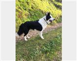 Border Collie a Lucca