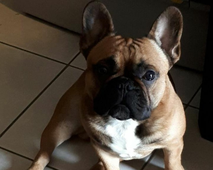 Accoppiamento monta bouledogue francese accoppiamento for Bouledogue francese