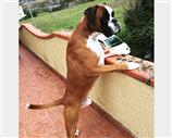 Boxer a Lucca