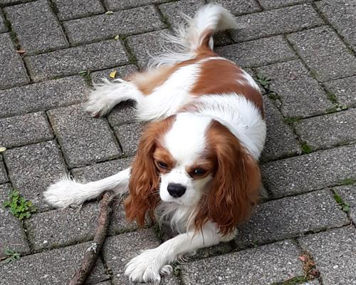 Cavalier King  blenheim toy maschio