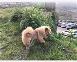 Chow Chow a Palermo