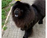 Chow Chow a Cosenza