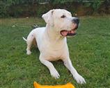 Accoppiamento Dogo Argentino. Contatta subito.