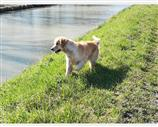 Golden Retriever a Ferrara
