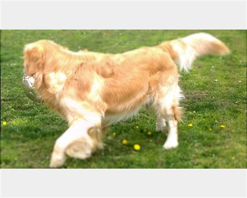 Cucciolo di Golden Retriever  maschio e femmina crema , mantello  fitto (close fitting)