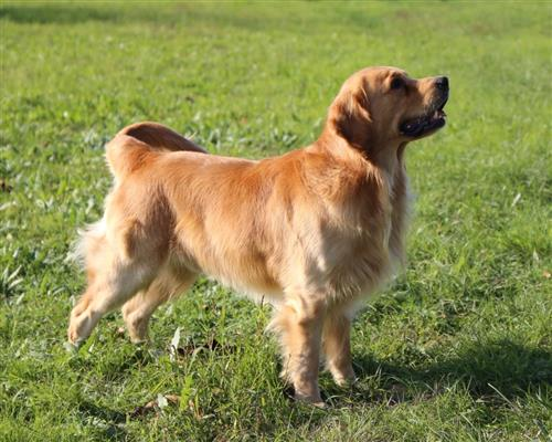 Golden Retriever  maschio