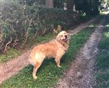 Accoppiamento Golden Retriever dorato,  mantello fitto. Contatta subito.