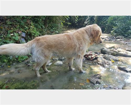 Golden Retriever  femmina dorato , pelo  lungo