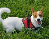 Jack Russell a Treviso