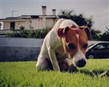Jack Russell a Cagliari