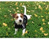 Jack Russell a Napoli