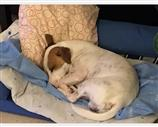 Jack Russell a Ancona