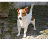 Jack Russell a Chieti