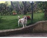 Jack Russell a Cosenza