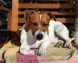 Jack Russell a Roma