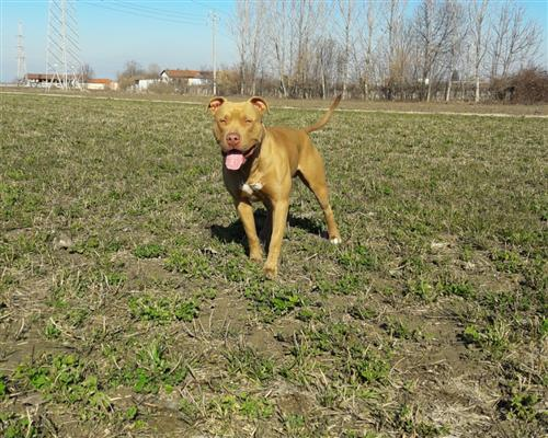 Pitbull  maschio e femmina marrone marroncino sabbia , mantello  uniforme (solid)