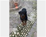 Rottweiler a Avellino
