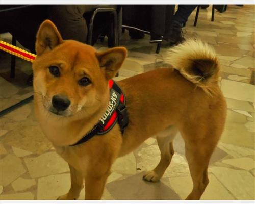 Shiba Inu  femmina rosso , pelo  dritto , mantello  fitto (close fitting)