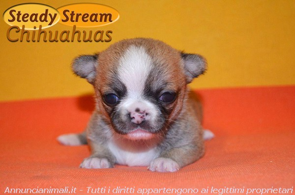 Steady Stream Chihuahuas