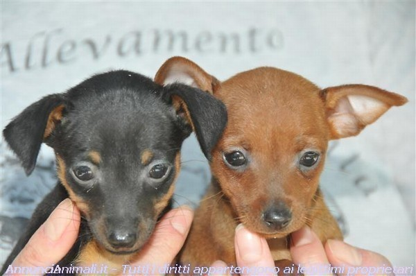 Pinscher nani e toy