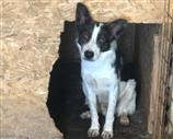 Border Collie a Cuneo