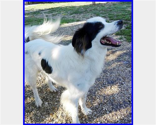 Border Collie  maschio