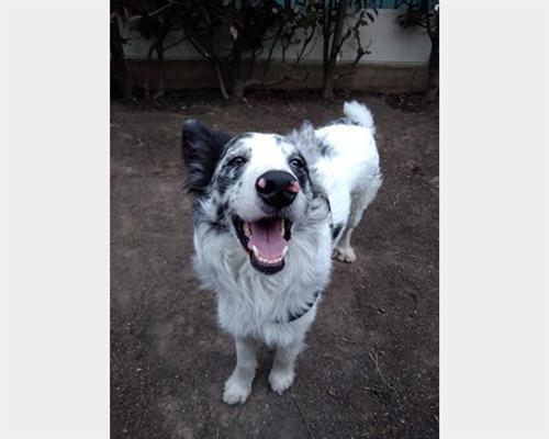 Border Collie  maschio blu merle