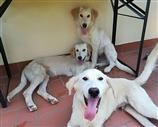 Regalo Golden Retriever crema. Contatta subito.
