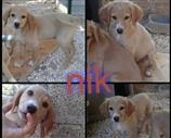 Regalo Golden Retriever dorato. Contatta subito.