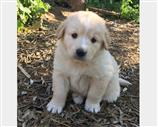 Regalo Golden Retriever crema dorato. Contatta subito.