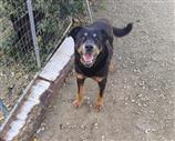 Rottweiler a Lecce