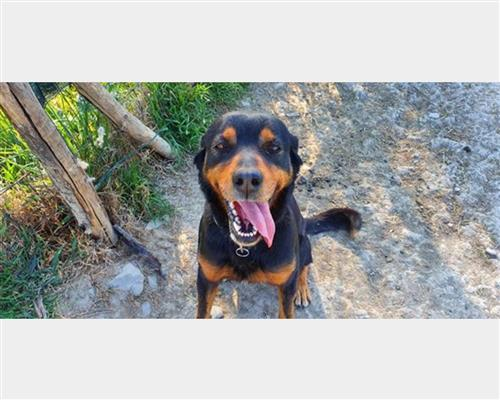 Rottweiler  maschio nero , pelo  liscio , mantello  marcature (markings)