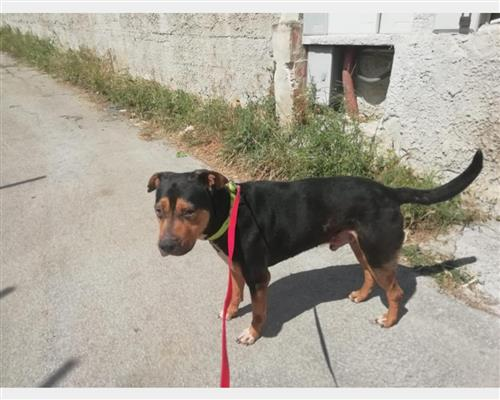 Rottweiler  maschio nero , pelo  duro e liscio , mantello  marcature (markings)